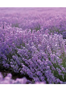 Fragrant Sweet Lavender