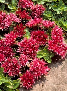 Red Creeping Sedum