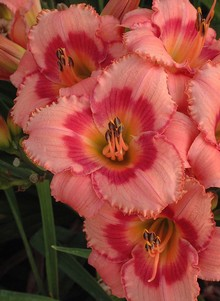 Strawbery Candy Daylily